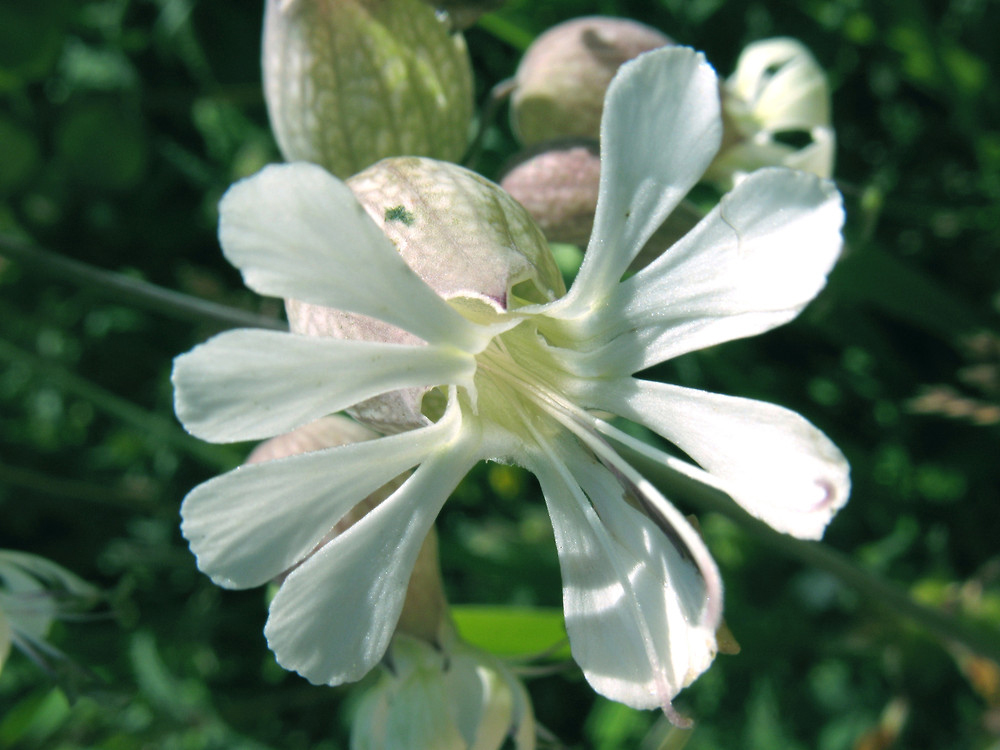 Closer-view-of-Flower-of-Bladder-campion