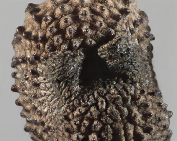 Closer-view-of-seeds-of-Bladder-campion