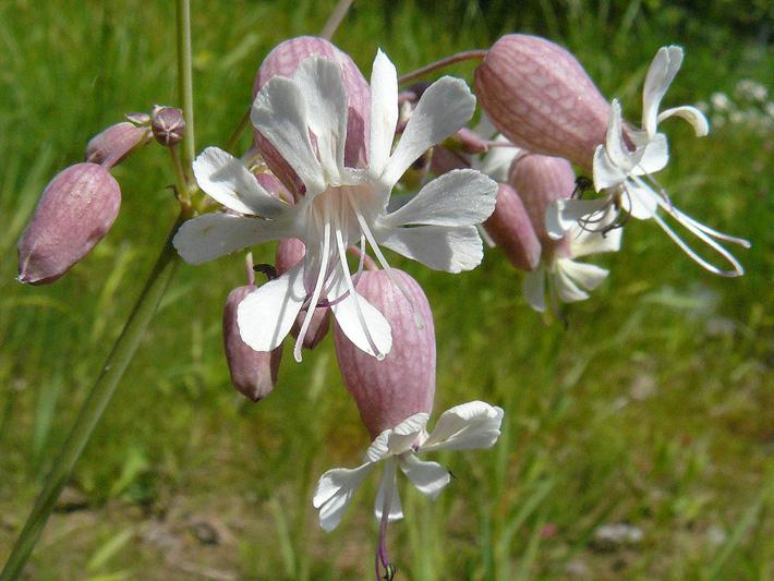 Flowers-of-Bladder-campion