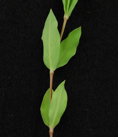 Leaves-of-Bladder-campion