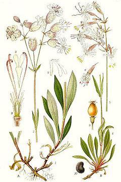 Plant-Illustration-of-Bladder-campion