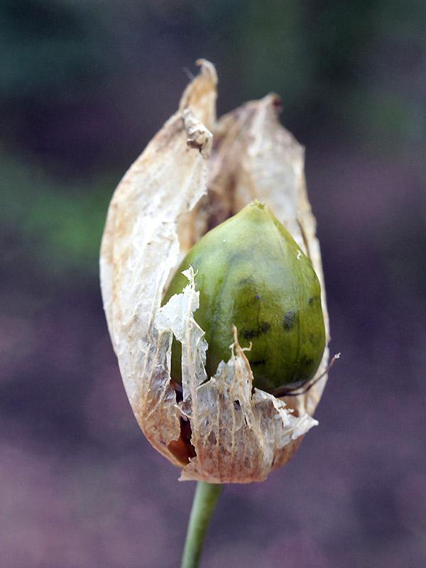 Unripe-fruit-of-Bladder-campion