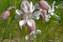 Flowers-of-Bladder-campion