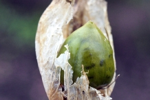 Unripe-fruit-of-Bladder-campion