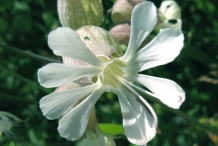 Closer-view-of-Flower-of-Bladder-campion