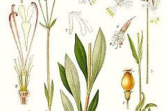 Plant-Illustration-of-Bladder-campion