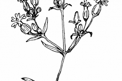 Sketch-of-Bladder-campion