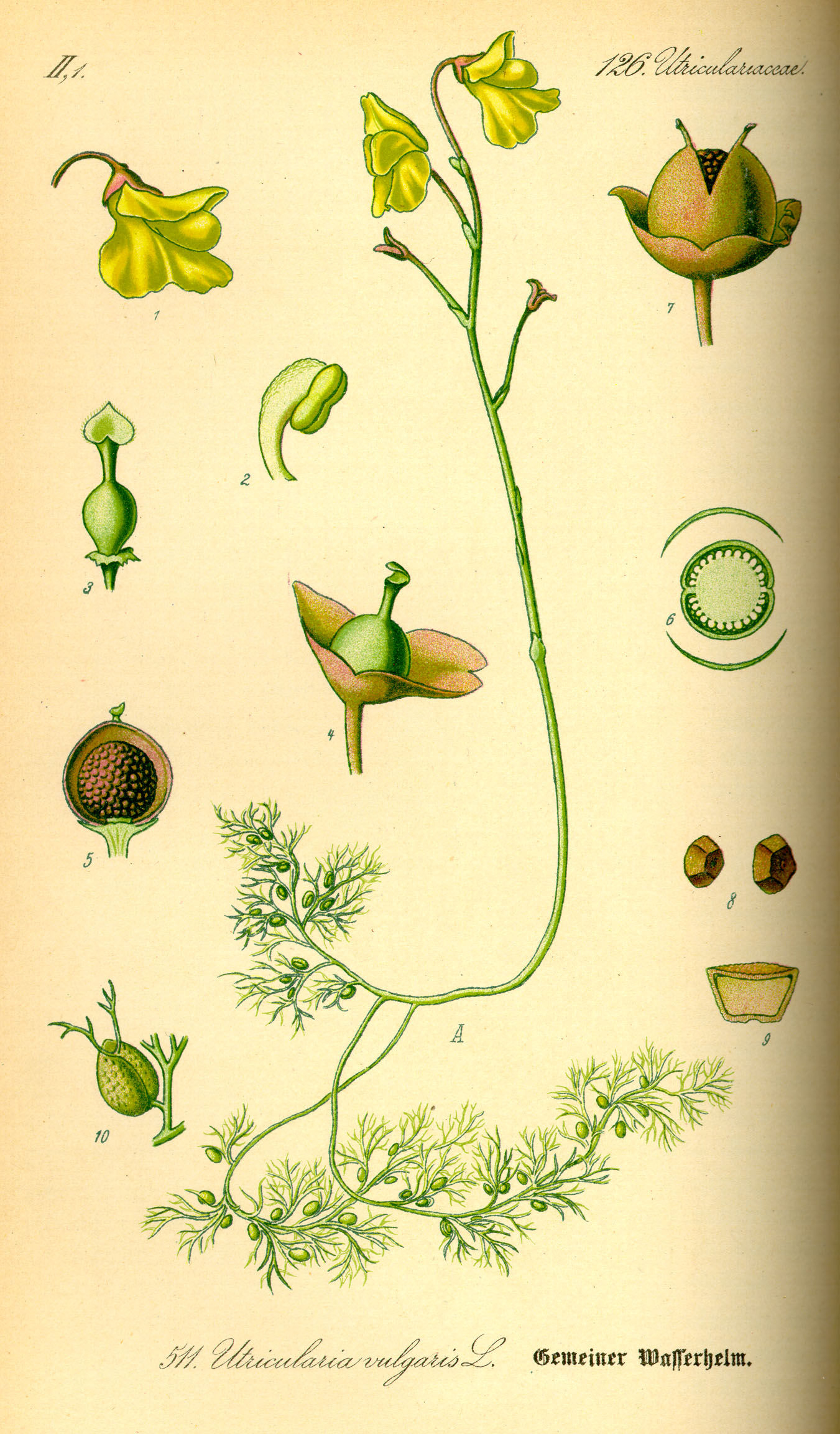 Illustration-of-Bladderwort