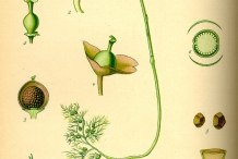 Illustration-of-Bladderwort
