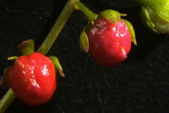 Closer-view-of-fruit-of-Bloodberry