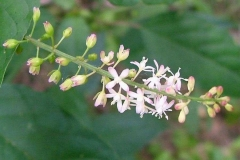 Flowers-of-Bloodberry