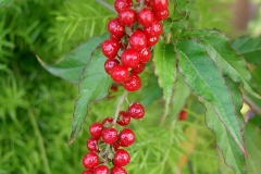 Fruit-of-Bloodberry