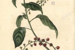 Plant-Illustration-of-Bloodberry