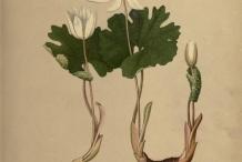 Bloodroot-plant-illustration