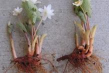 Bloodroot-plant