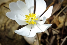 Bloodroot-closeup-flower
