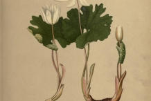 Bloodroot-plant-illustration