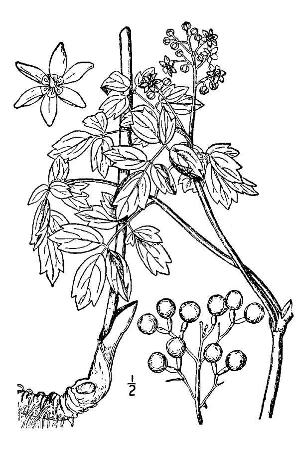 Drawing-of-Blue-Cohosh