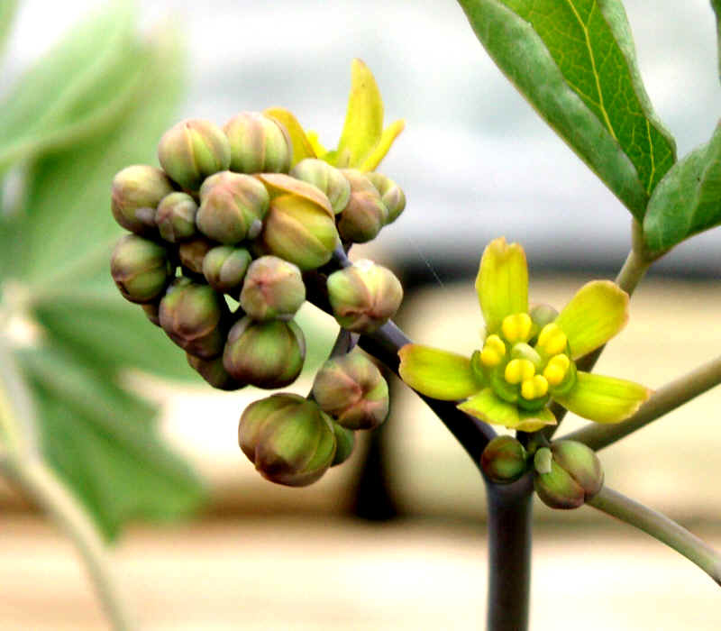 Flower-bud-of-Blue-Cohosh