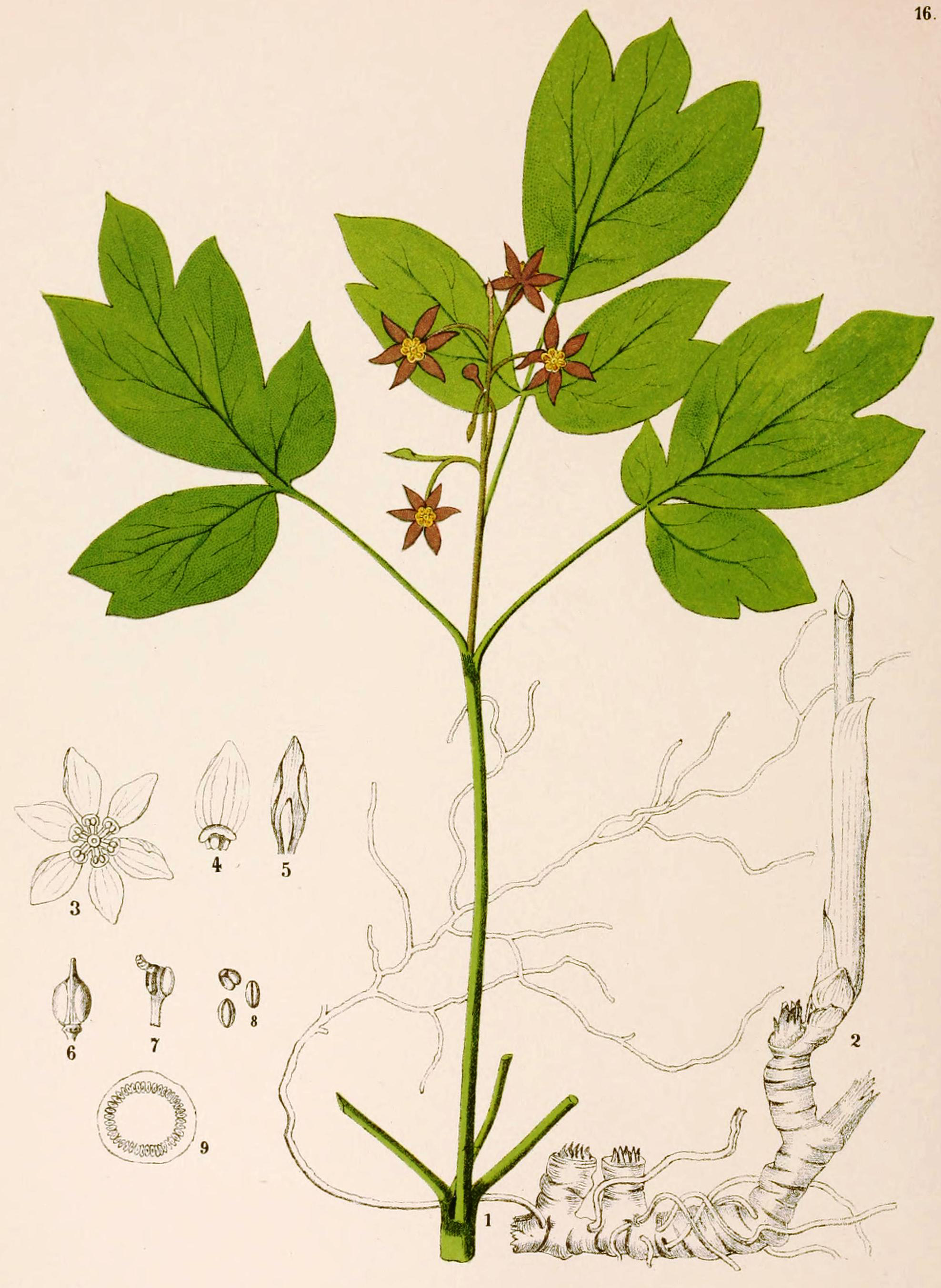 Illustration-of-Blue-Cohosh