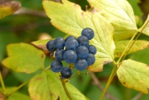 Blue-Cohosh-berries