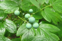 Unripe-berries-of-Blue-Cohosh
