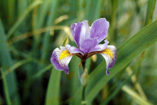 Blue-Irish-Flower