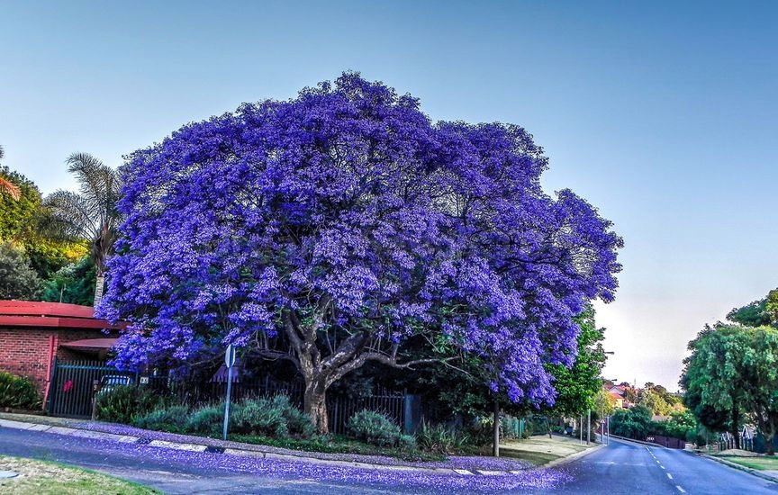 Flowering-Blue-Jacaranda-tree