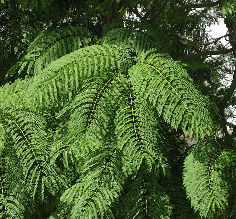 Leaves-of-Blue-Jacaranda