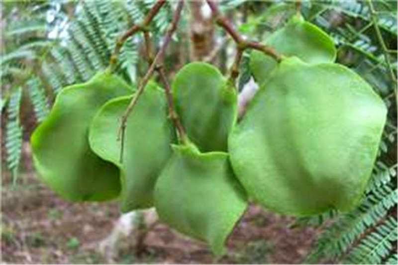 Unripe-fruits-of-Blue-Jacaranda