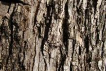 Bark-of-Blue-Jacaranda-tree