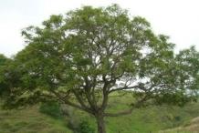 Blue-Jacaranda-Tree