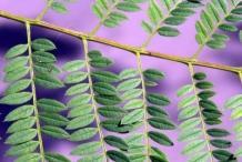 Closer-view-of-leaf-of-Blue-Jacaranda