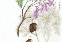 Plant-Illustration-of-Blue-Jacaranda