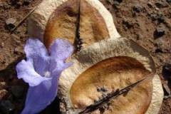 Dried-fruits-of-Blue-Jacaranda