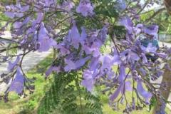 Flowers-of-Blue-Jacaranda