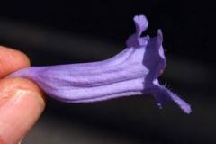 Single-Blue-Jacaranda-flower