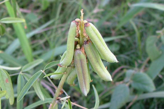 Immature-fruits-of-Blue-Rattlepod