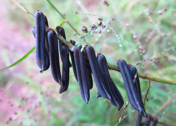 Mature-fruits-of-Blue-Rattlepod