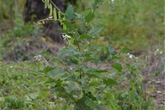 Blue-Rattlepod-Plant-growing-wild