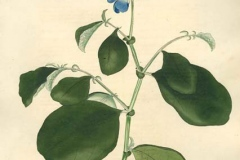 Plant-Illustration-of-Blue-Rattlepod