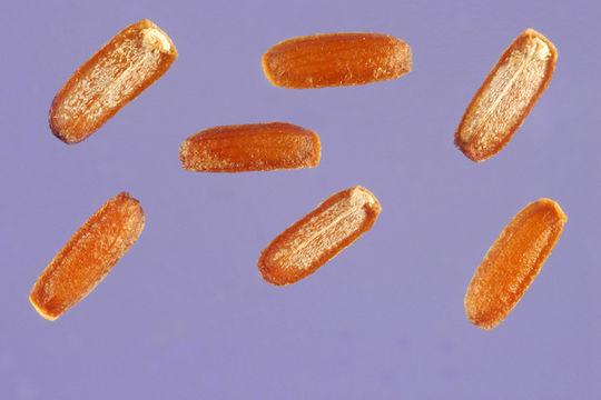 Blue-vervain-nutlets