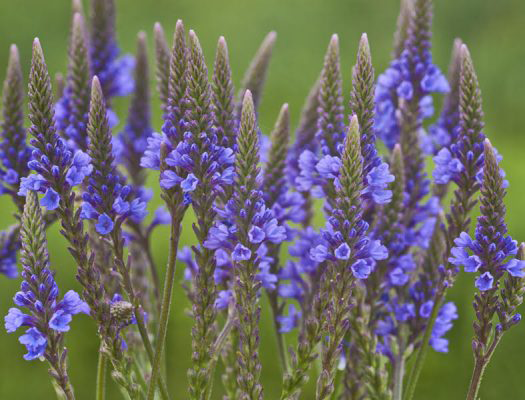 Flowers-of-Blue-vervain-plant