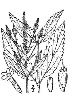 Sketch-of-Blue-vervain-plant