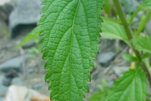 Closer-view-of-Blue-vervain leaf