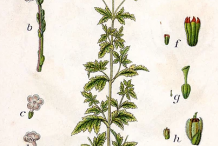 Plant-illustration-of-Blue-vervain
