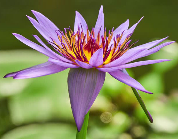 Blue-waterlily-flower