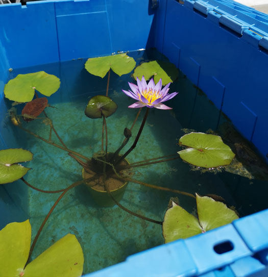 Blue-waterlily-grown-on-the-pot