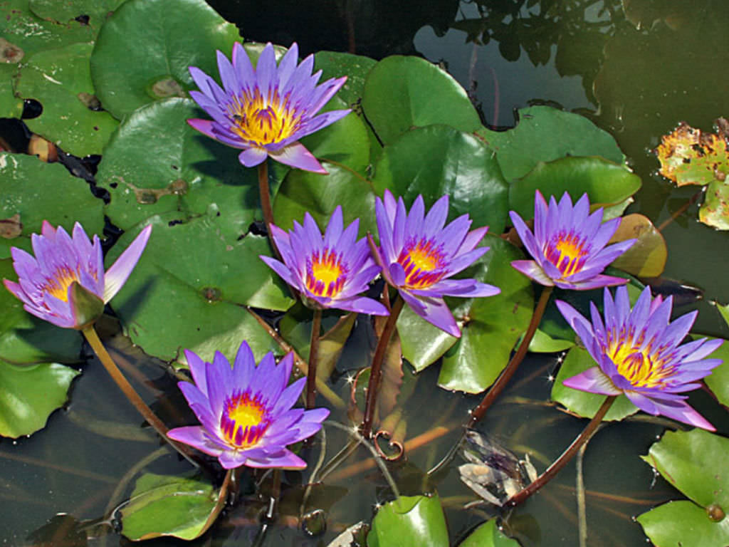 Blue-waterlily-plant