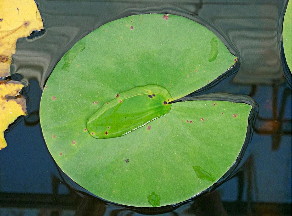 Leaf-of-Blue-waterlily